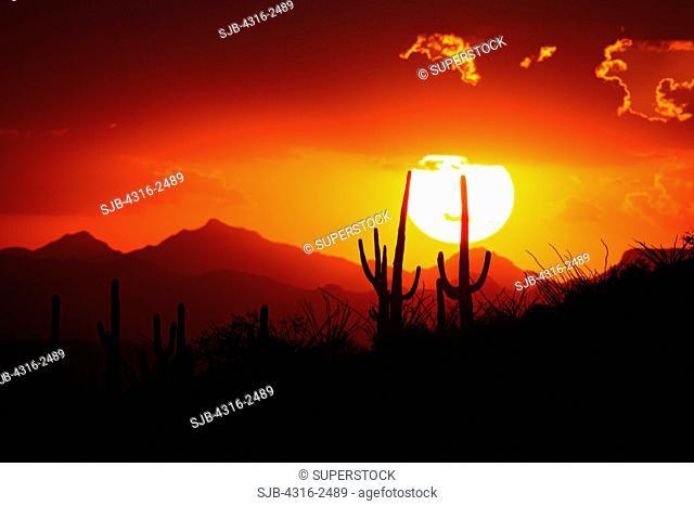 Saguaro cactus Cereus giganteus on a slope above Tucson, Arizona, at sunset