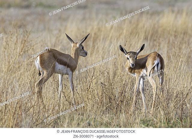 Young springboks (Antidorcas marsupialis), in high dry grass, Etosha National Park, Namibia, Africa