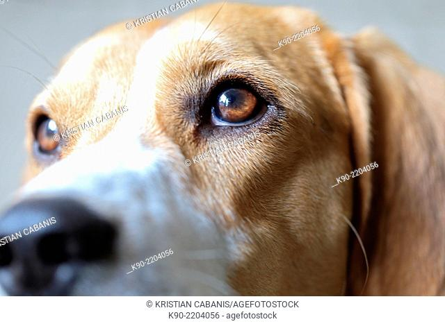 Close up image of snout and eyes of tricolor Beagle, Berlin, Germany, Europe
