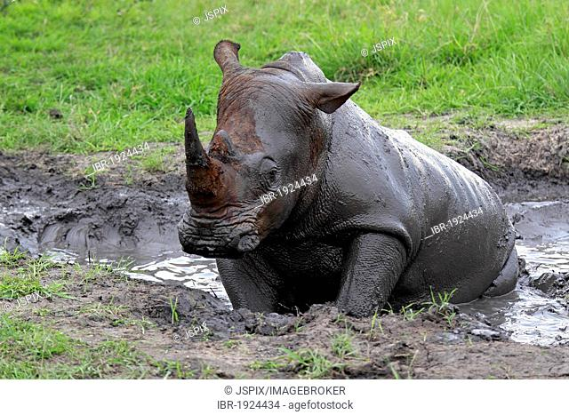 White Rhinoceros or Square-lipped rhinoceros (Ceratotherium simum), having a mud bath, Sabi Sabi Game Reserve, Kruger National Park, South Africa, Africa