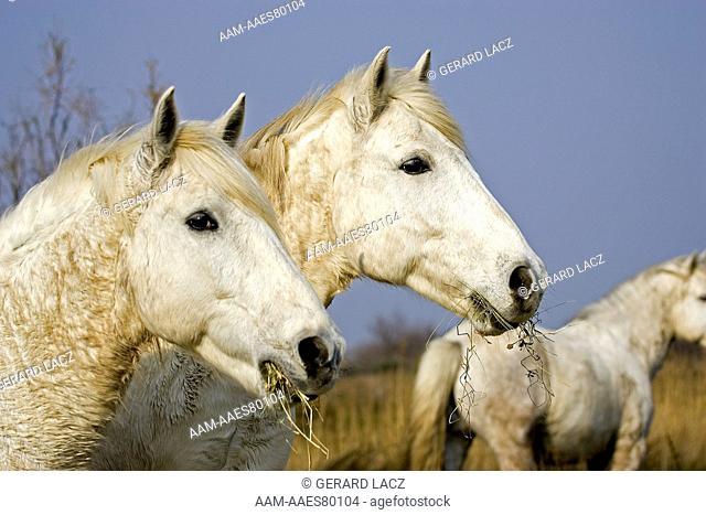 Camargue Horse, Herd standing in Swamp, Saintes Marie de la Mer in South East of France