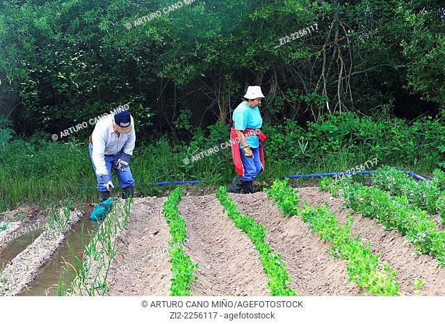 Farmers in the kitchen garden. Mazarete, Guadalajara, Spain