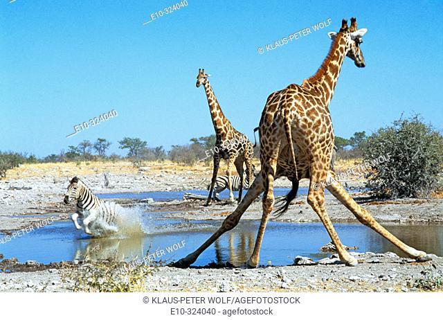 Two giraffes drinking (Giraffa camelopardalis giraffa) and running Zebra (Equus quagga aniquorum). Etosha National Park. Namibia