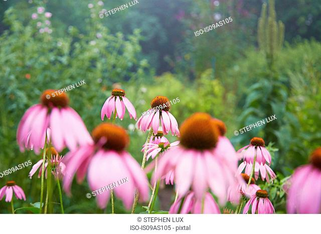 Close up of pink echinacea flowers in herb garden