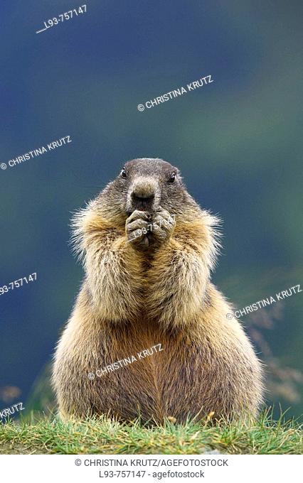 Alpine Marmot Marmota marmota