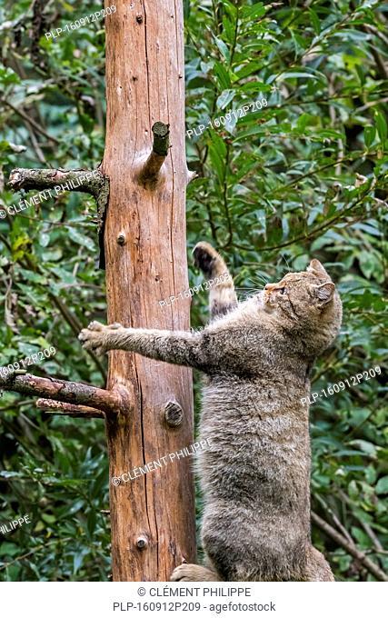 European wildcat (Felis silvestris silvestris) climbing in tree in forest