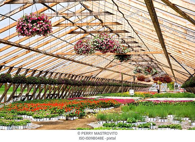 Horticultural worker in commercial greenhouse watering plants including purple, mauve, white and red Petunias in hanging baskets and mixed flowering plants in...