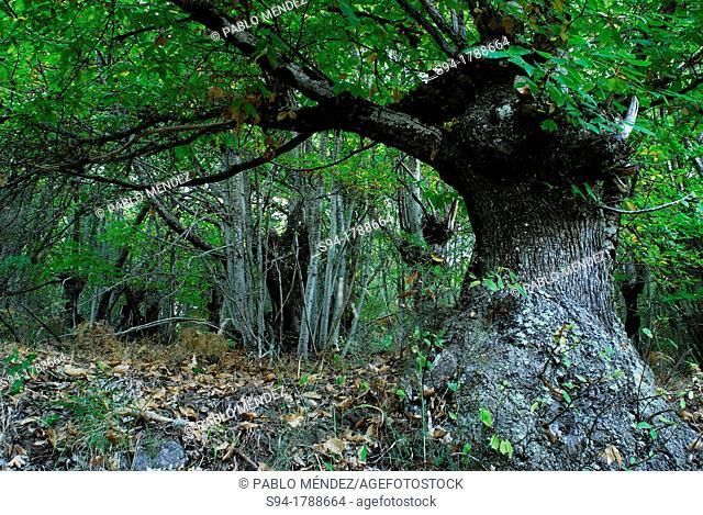 Typical wood of A Fraga, San Xoan de Rio, Orense, Spain