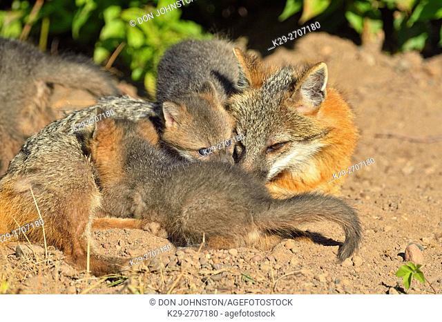 Grey Fox - (Urocyon cinereoargenteus) Mother nursing kits, captive raised, Minnesota wildlife Connection, Sandstone, Minnesota, USA