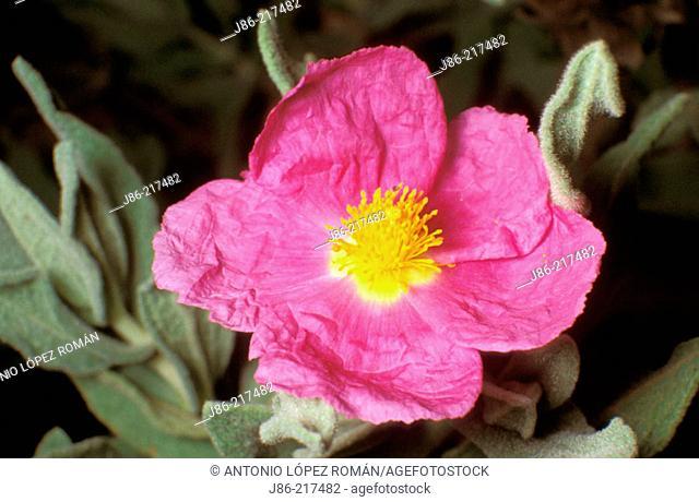 Rock Rose (Cistus albidus)