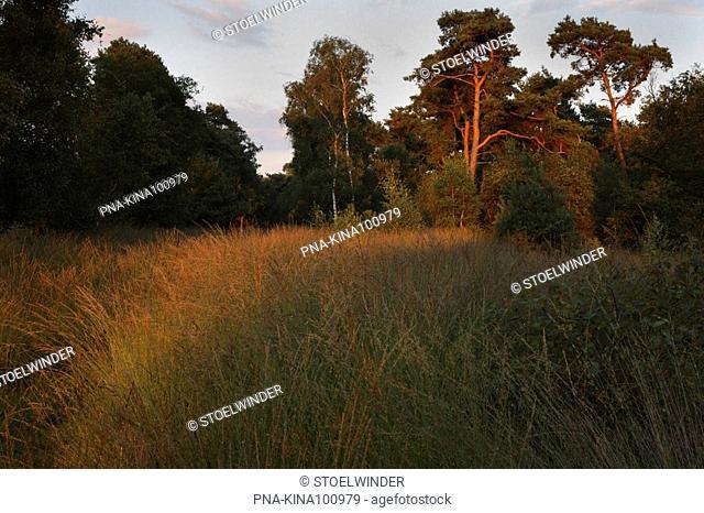 Scots Pine Pinus sylvestris - Strabrechtse Heide, Heeze, Campine, North Brabant, The Netherlands, Holland, Europe