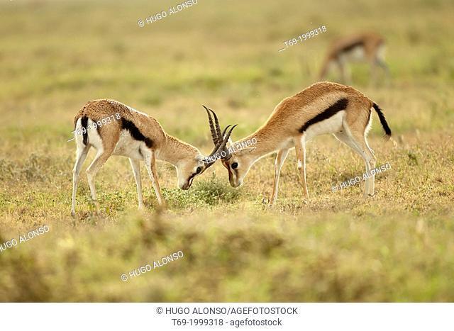 Thomson's gazelles fighting. Eudorcas thomsonii