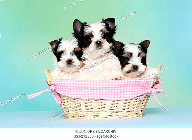 Biewer Terrier. Three puppies (7 weeks old) in a wicker basket. Studio picture against a blue background. Germany