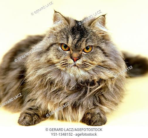 BROWN TABBY PERSIAN DOMESTIC CAT, ADULT RESTING