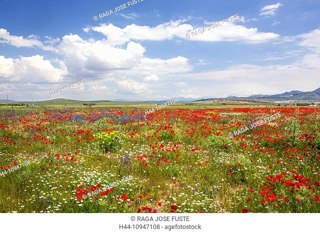 Spain, Europe, Andalucia, Region, Malaga, Province, landscape, amapolas, poppies, field, amapolas, poppies, cloud, colour, colourful, flowers, green, skyline