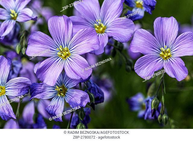 Linum perenne 'Saphyr', Blue flax, Lint or Perennial flax in bloom