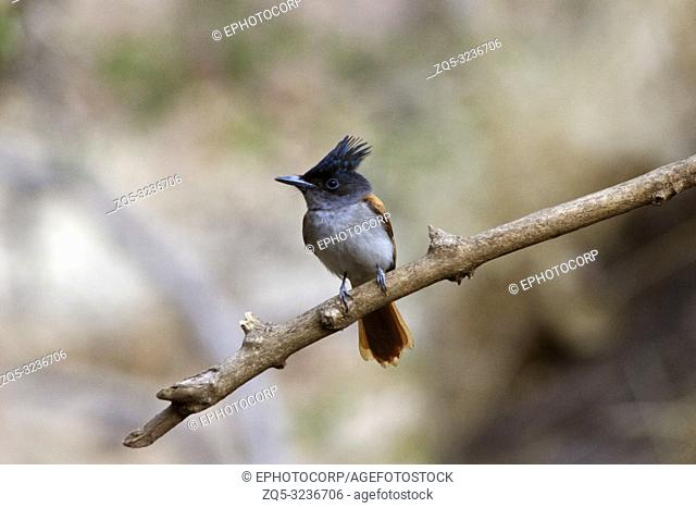 Indian paradise flycatcher, Terpsiphone paradisi, Sinhagad valley, Pune district, Maharashtra, India