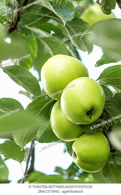 Apple Fruits and Apple Leaves near Bad Schallerbach, Austria