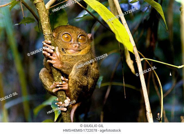 Philippines, Bohol island, tarsier in foerst tree