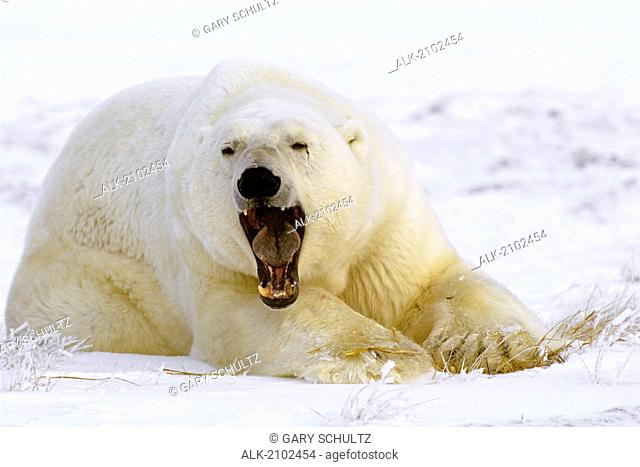 Cape Churchill Manitoba Polar Bear Yawning Canada Winter Portrait Mouth Open White Snow