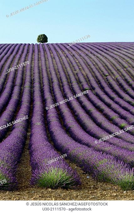 Lavender fields (Lavandula angustifolia), in Valensole plateau. Digne-les-Bains district, in Alpes de Haute Provence department and Provence-Alpes-Cote d'Azur...
