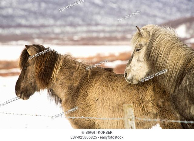 Two Icelandic horses in wintertime in front of snowy mountains