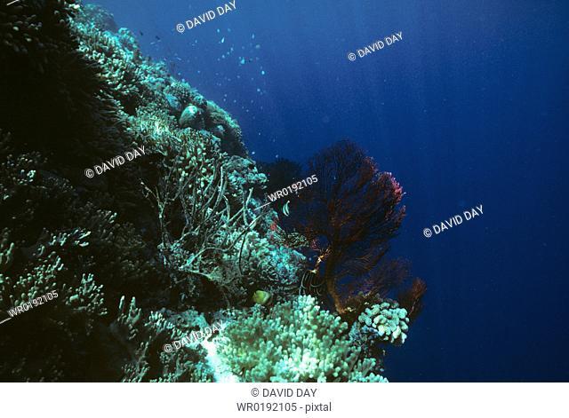 Horny and soft corals, Palau Chaetodon kleinii Palau Belau, Pacific Ocean