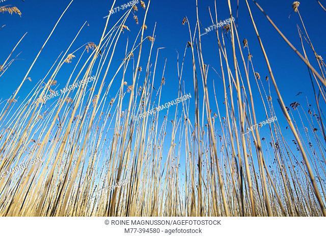 Reeds in winter. Nora. Västmanland. Sweden