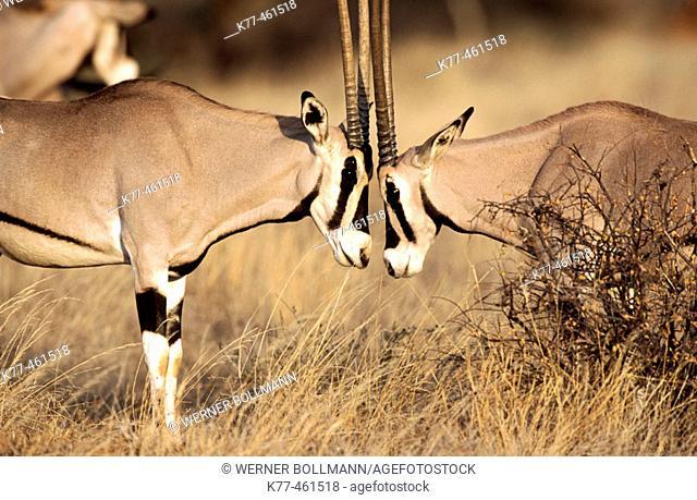 Beysa Oryx (Oryx beisa). Samburu National Reserve. Kenya