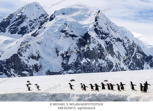 Gentoo penguins, Pygoscelis papua, returning to sea from Danco Island, Errera Channel, Antarctica