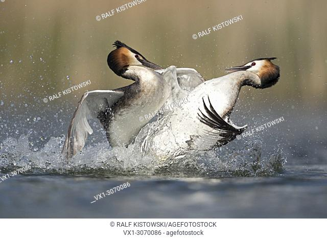 Great Crested Grebes ( Podiceps cristatus ) in hard fight, rivals, territorial behaviour while breeding season, wildlife, Europe