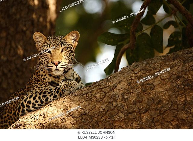 Leopard Panthera Pardus relaxes in tree, South Luangwa National Park, Zambia
