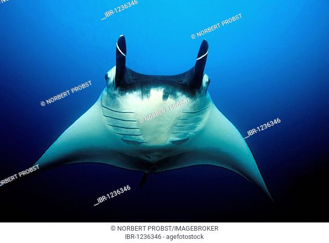 Manta Rays (Manta birostris), frontal, head fins rolled up, in midwater, blue water, Similan Islands, Andaman Sea, Thailand, Asia, Indian Ocean