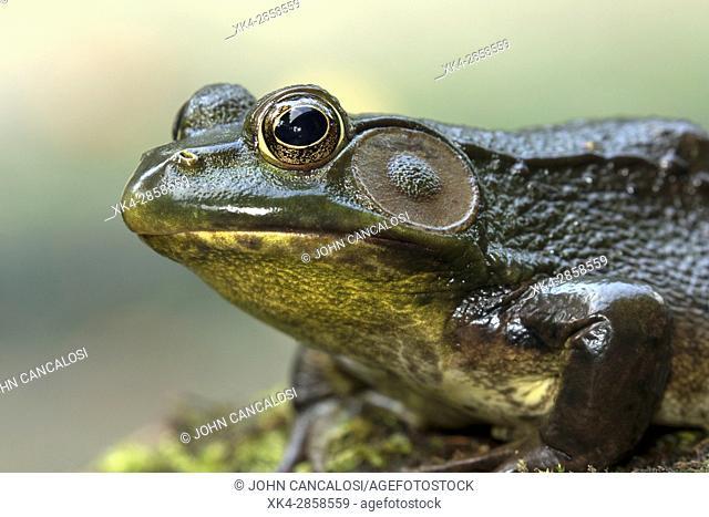 Green frog (Lithobates clamitans),Rana clamitans, New York