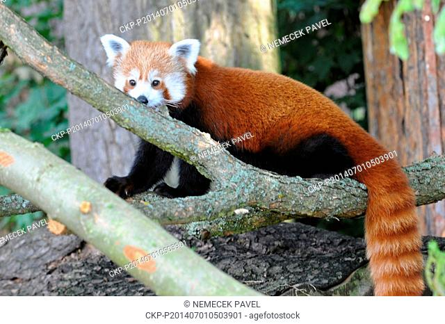 One year old female of red panda is seen in the zoo in Pilsen, Czech Republic, July 1, 2014. Red panda is registered in the International Red Book of Endangered...