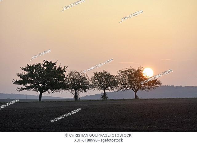 pommiers dans un champ au coucher du soleil, departement d'Eure-et-Loir, region Centre-Val de Loire, France, Europe/apple trees in a field at sunset