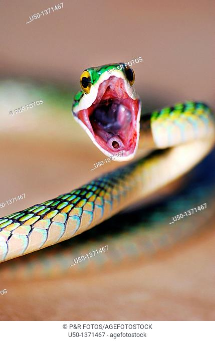 Nonvenomous snake Colubridae, Acre, Brazil, 2010  50 cm lenght close-up