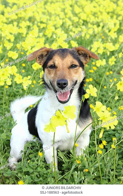 Jack Russell Terrier standing amidst yellow flowers. Spain
