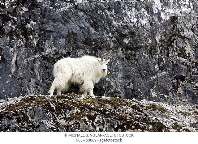Adult mountain goat Oreamnos americanus on steep terrain on gloomy nob in Glacier Bay National Park in southeast Alaska, USA