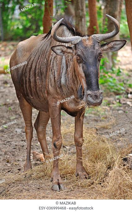 Due to their migratory ways, the wildebeest do not form permanent pair bonds or defend a set territory