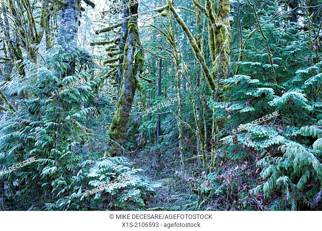 Frost coats evergreen and moss covered trees in a wintry Pacific Northwest