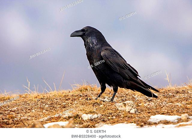 common raven (Corvus corax), on the ground searching for food, Bulgaria, Sredna Gora, Sliven