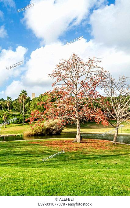 Blooming tree with red flowers near the pond in the park in Tel Aviv, Israel