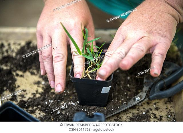 Hands replanting grass into a new container, Tifton, Georgia. USA