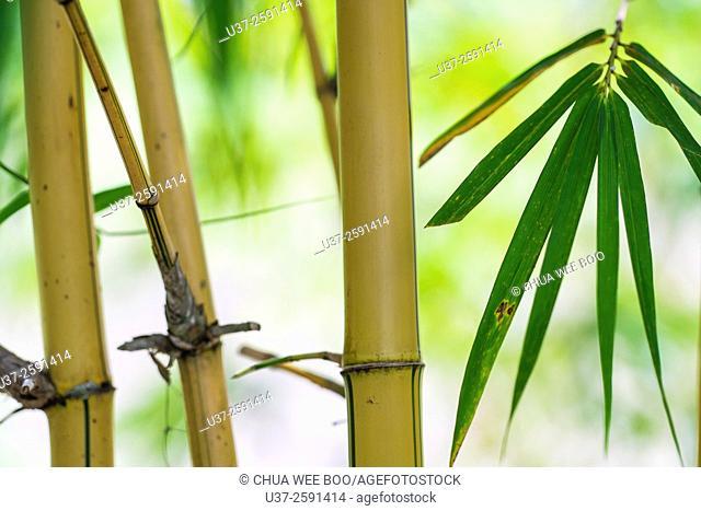 Yellow bamboos. Image taken at Orchid Garden, Kuching, Sarawak, Malaysia