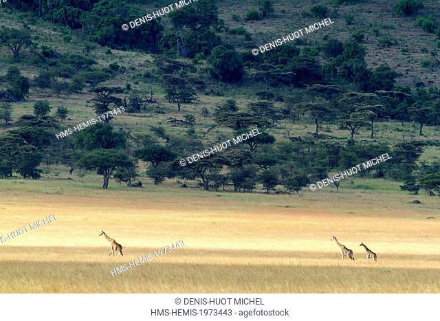 Kenya, Masai Mara game reserve, Girafe masai (Giraffa camelopardalis), a group in the savannah in dry season