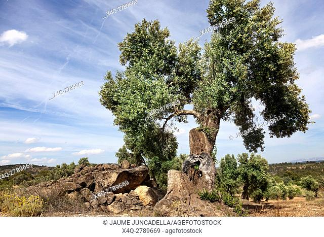 Olive tree close to Beceite, Teruel province, Aragon, Spain