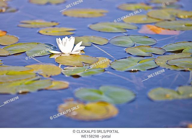 close up of waterlily, Traigh Mhor, North Tolsta, Isle of Lewis, western scotland,United Kingdom