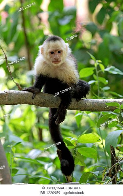White-headed capuchin monkey (Cebus capucinus), adult animal on tree, Roatan, Honduras, Central America