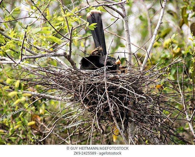 Anhinga & chicks, Everglades NP, FL
